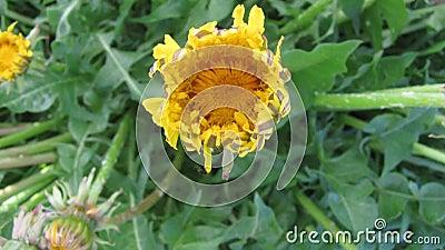 Цветение отверстия одуванчика цветка - видео timelapse акции видеоматериалы