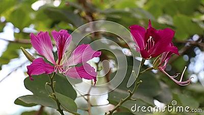 Цветение цветка пурпурные blakeana Ã- Bauhinia или орхидея Гонконга на дереве акции видеоматериалы