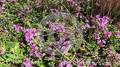 Цветеня тимиана в glade леса Цветки разбросаны повсеместно в страна сток-видео