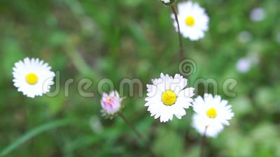 цветет лужок одичалый Маргаритки и поднимающее вверх клевера близкое видеоматериал