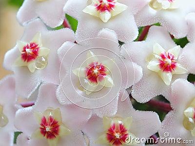 цветет hoya