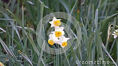 Цветки Daffodil видеоматериал