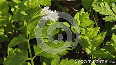 Цветное растение травы, выращиваемой в кур, или теллярии, также известно как курятник, крачи, марунс, зимние водоросли Обычные га сток-видео