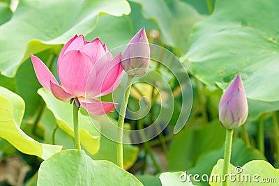 Цветок и бутон лотоса