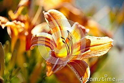 Цветок лилии тигра