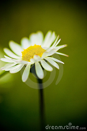 цветок маргаритки