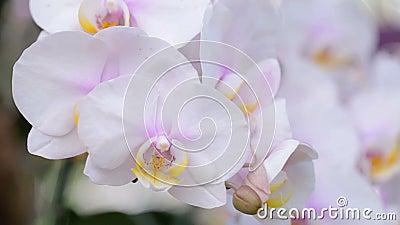 Цветок орхидеи в саде орхидеи Орхидея фаленопсиса или orch сумеречницы сток-видео