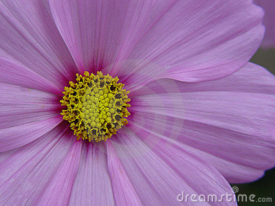 цветок cosmo