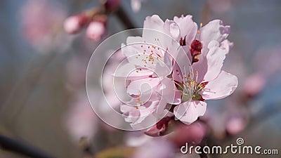 цветочные, розовые и белые цветы на деревьях, весенняя природа, красивый фон акции видеоматериалы