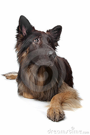 чабан собаки немецкий старый