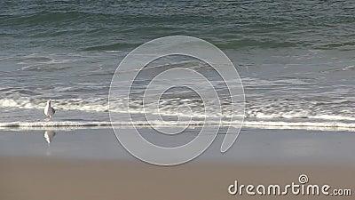 Чайка на Palm Beach, Gold Coast, Квинсленде Австралии акции видеоматериалы