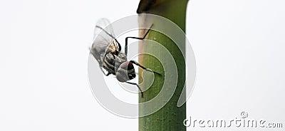 черенок мухы