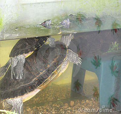 черепахи влюбленности