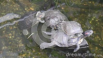 Черепахи в пруде акции видеоматериалы