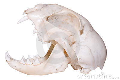 череп хищника