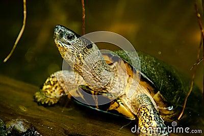Черная черепаха реки