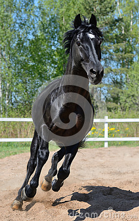 Черные чистоплеменные галопы лошади