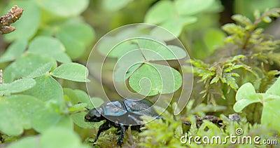Черный и сияющий жук навоза вползает на листьях FS700 4K видеоматериал