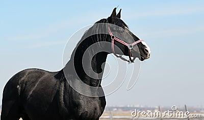черный портрет мустанга