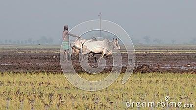 Человек работает на поле риса в Jessore, Бангладеше видеоматериал