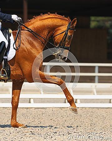 щавель портрета лошади dressage