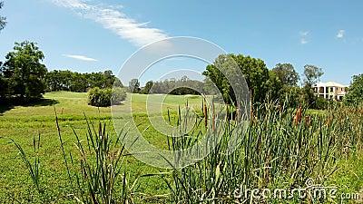 Экосистема заболоченного места болота с Reed, Cattail, Typhaceae травы Typha вдоль края corse гольфа акции видеоматериалы