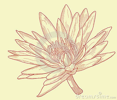 эскиз лилии