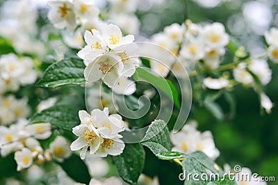 在一棵树的茉莉花白花与露滴