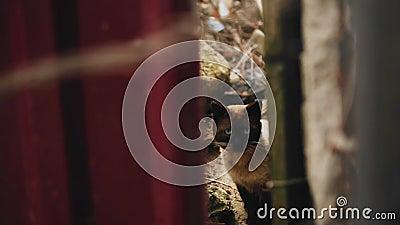 一只漂亮的暹罗猫通过栅栏间的裂缝看着相机 漂亮的颜色 股票录像