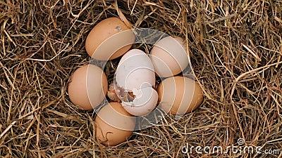 一只鸡孵化从鸡蛋的-时间间隔 股票视频