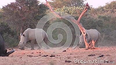 一对白犀牛走向水洞 股票视频