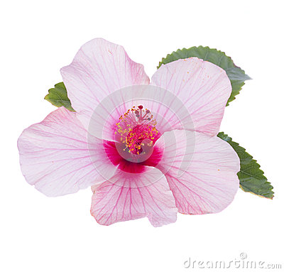 与在白色背景隔绝的叶子的一朵桃红色木槿花.图片