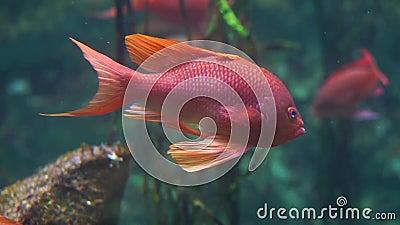一条美丽和五颜六色的热带鱼游泳在水族馆的,异乎寻常的鱼硬币的特写镜头 影视素材