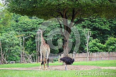 一头长颈鹿