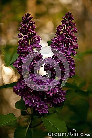 紫丁香属植物