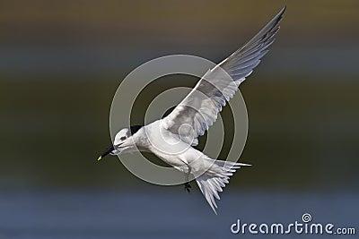 三明治燕鸥