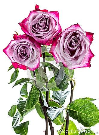 百万支玫瑰被销毁