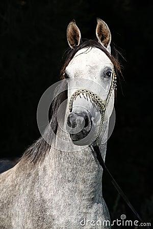 与展示三角背心的好的阿拉伯公马