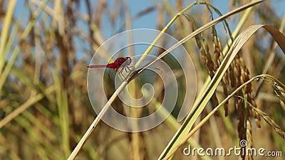 与玉米穗的蜻蜓 股票视频