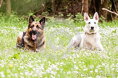 狗和人�y�'��)�al�����:)�h�_与白瑞士牧羊人的德国牧羊犬狗雏菊的.