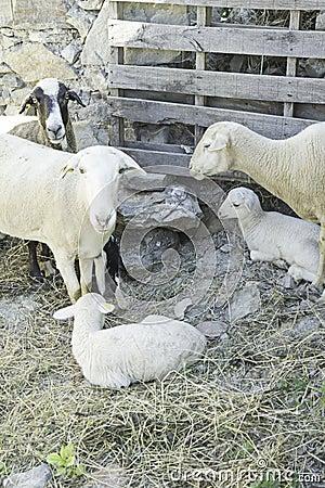 与羊羔的绵羊