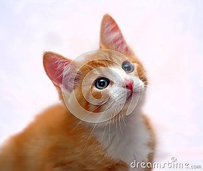 与蓝眼睛的逗人喜爱的姜小猫图片