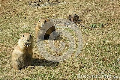 两只注意黑被盯梢的草原土拨鼠(草原犬鼠ludovicianus)