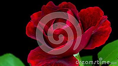4个k定期流逝红色玫瑰色花