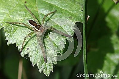 为装边的狩猎蜘蛛- Dolomedes fimbriatus