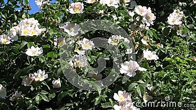 乌克兰自然 野玫瑰,在别列赞岛上 影视素材