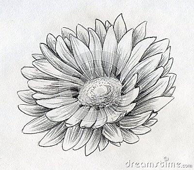 雏菊花铅笔剪影