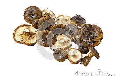 乳菇属采蘑菇necator