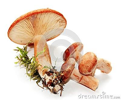 乳菇属rufus