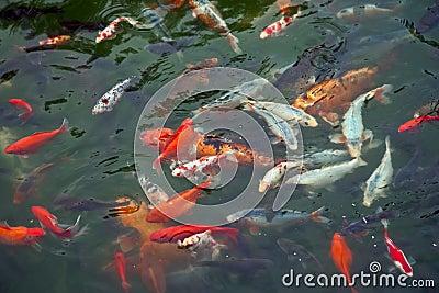 五颜六色的鲤鱼